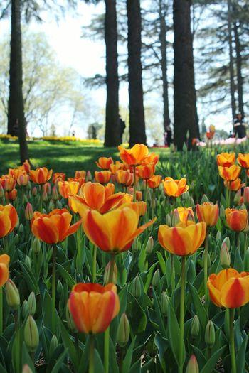 Close-up of orange tulips in bloom
