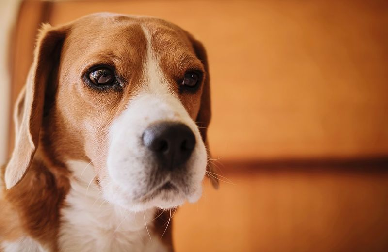 Colorpallet Colorpallete Pet AnimalTheme Pose Cute Looking Domesticanimals Canine Indoors  Friendforever Friendship PortraitPhotography Lookingatcamera Resting Tranquility 35mm Dogphotography Rest Model Modeldog  Orange Color Beagle Pets Portrait Dog Looking At Camera Close-up