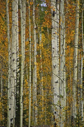 Abundance Aspen Tees Beauty In Nature Fall Colors Forest Nature Tree Tree Trunk WoodLand