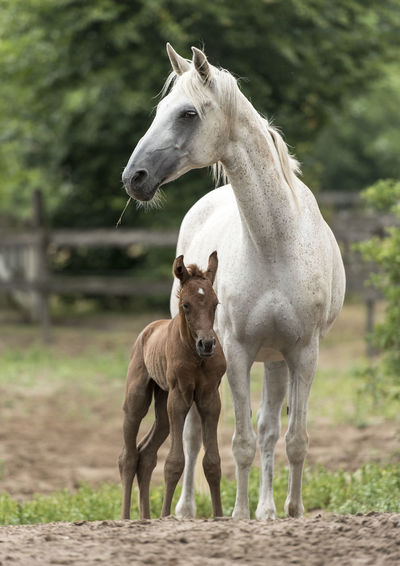 Animal Family Arabian Horse Foal Horse Love Mammal Nature New Born Newly Born Horse No People Outdoors Togetherness Young Animal Young Horse