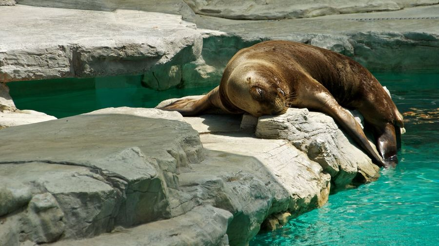 Sea lion resting on rock in zoo