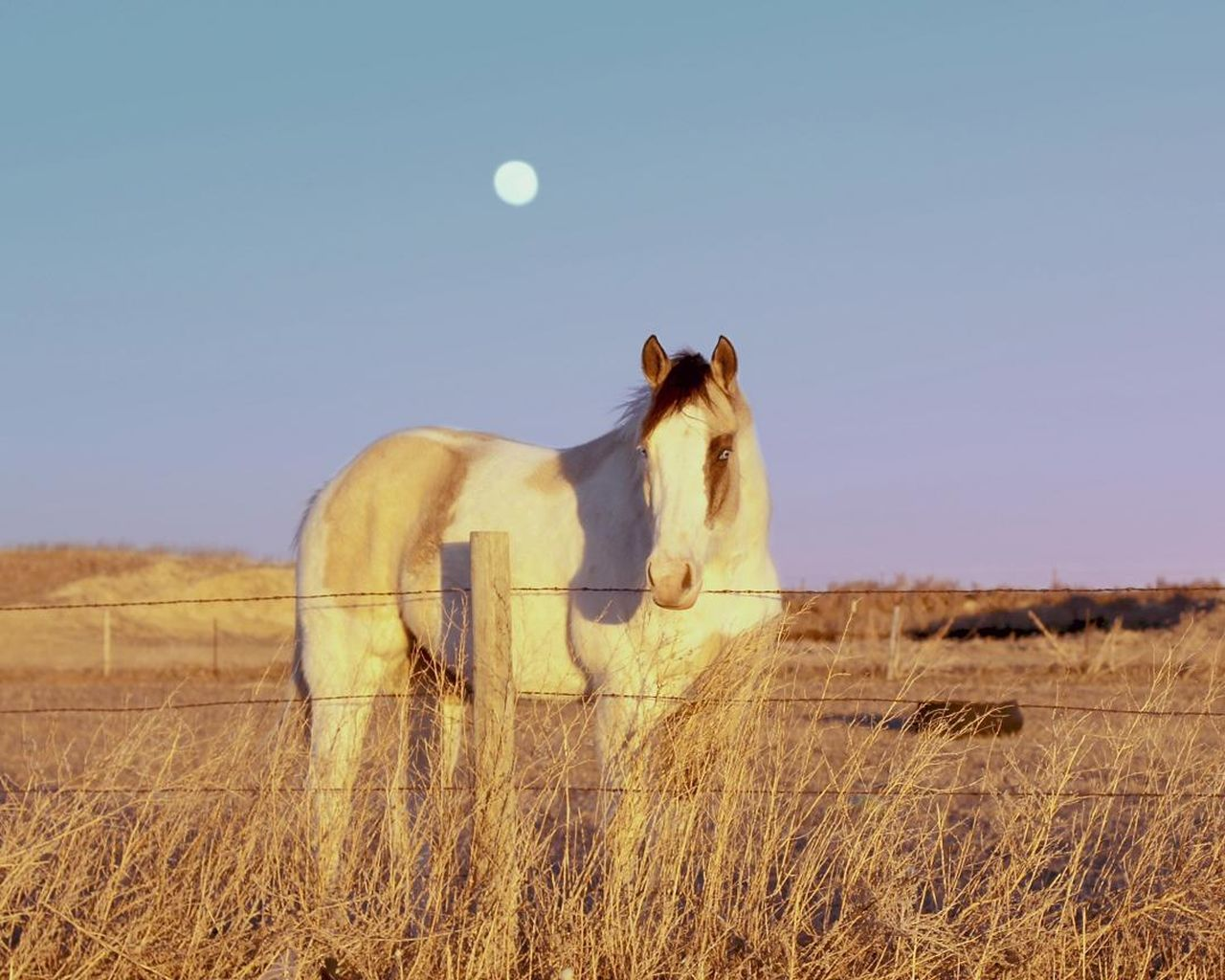 animal themes, moon, clear sky, one animal, mammal, grass, nature, field, landscape, outdoors, animals in the wild, sky, no people, day, standing, beauty in nature, domestic animals