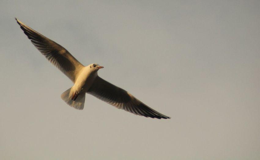 Birds Swedish Nature Bird Of Prey Bird Spread Wings Flying Close-up Animal Themes Sky Animal Wing Flapping Beak