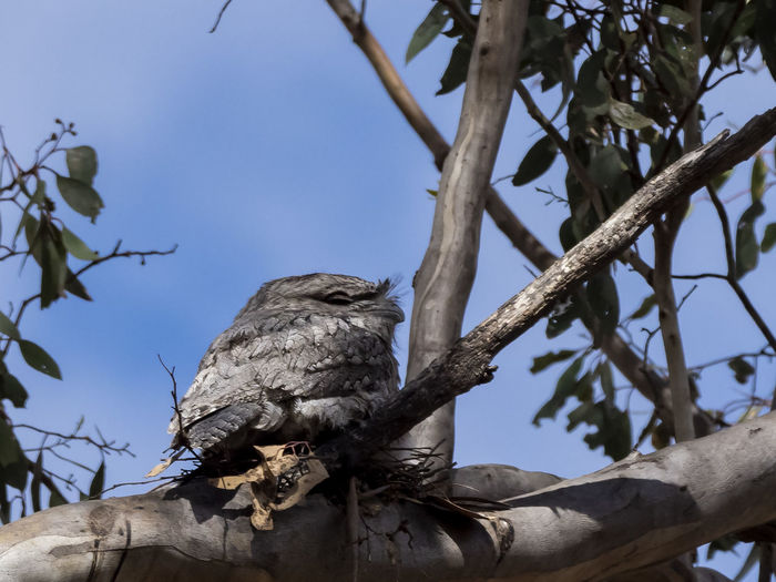 Tawny Frogmouth (Podargus strigoides) Tree Low Angle View Branch Plant No People Day Nature Sky Focus On Foreground Outdoors Clear Sky Plant Part Animal Wildlife Animals In The Wild Animal Animal Themes Vertebrate One Animal Bird Perching