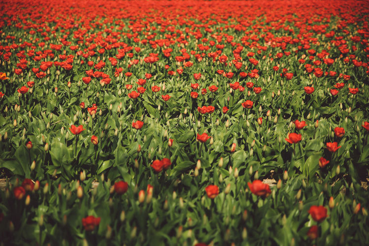 Close-Up Of Red Flowers Growing In Field