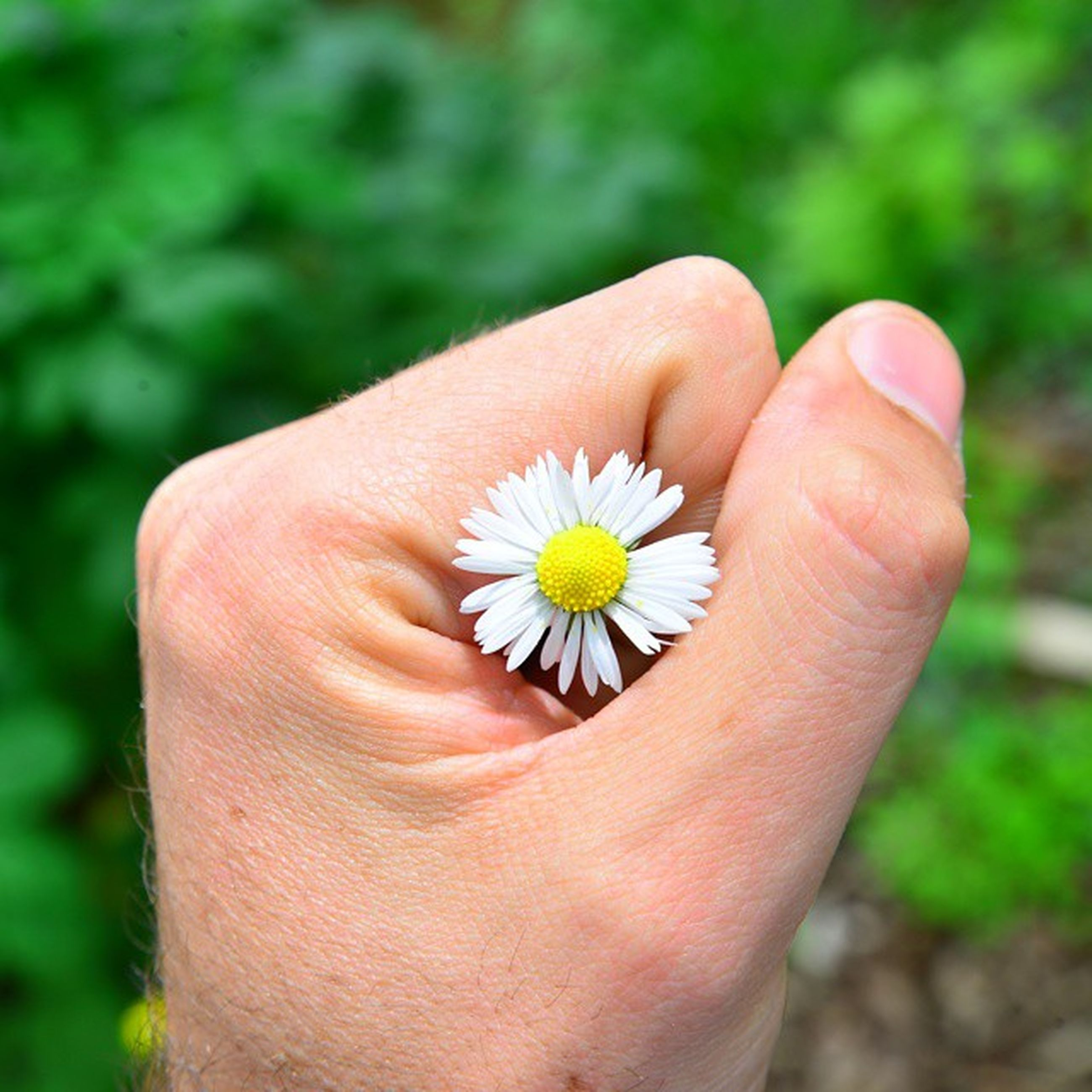 person, part of, human finger, holding, flower, cropped, close-up, focus on foreground, unrecognizable person, fragility, personal perspective, petal, single flower, freshness, flower head, white color, daisy