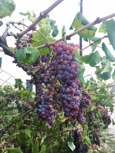 Growth Fruit Hanging Low Angle View Food And Drink Food Healthy Eating Nature Plant No People Tree Bunch Day Beauty In Nature Leaf Grape Freshness Outdoors Agriculture Close-up grape