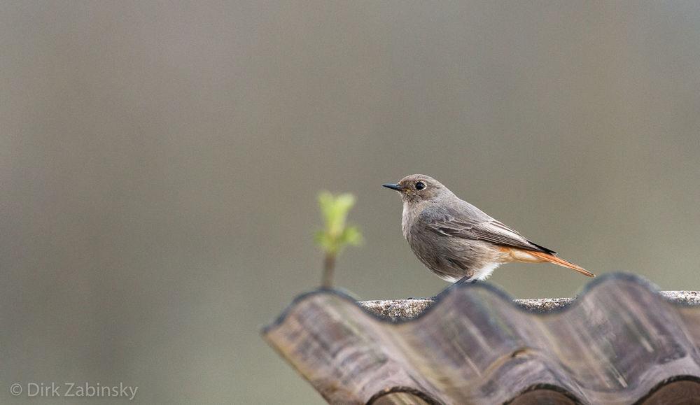 Animal Themes Bird Black Redstart Focus On Foreground Nature One Animal Wildlife