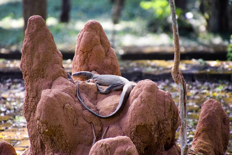 Varan on termitary Animal Wildlife Animal Nature Termitary Varan Reptile Close-up Lizard