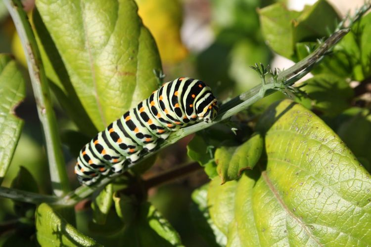 Caterpillar Caterpillar Animal Wildlife Animal Animals In The Wild Insect Animal Themes One Animal Invertebrate Plant Part Caterpillar Close-up Leaf Green Color Plant Focus On Foreground Nature Day No People Animal Markings Outdoors Beauty In Nature