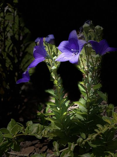 Close-up of purple flowering plant against black background
