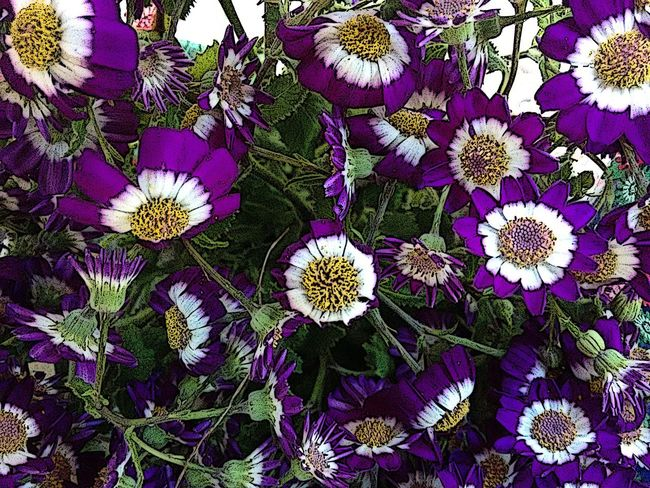 ASTERACEAE (COMPOSITAE) Flowering Plant Aster Beauty In Nature Bruisewort Bukedo Cineraria Close-up Colored Colorful Common Ragwort Cruentus Daisy ♥ Day Decorative Feverfew Florist's Cineraria Flower Freshness Inflorescence Nature No People Outdoors Purple White