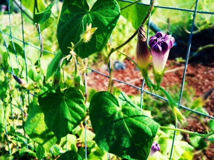 One is closed, and the other is hiding Morning Glory Garden Fence