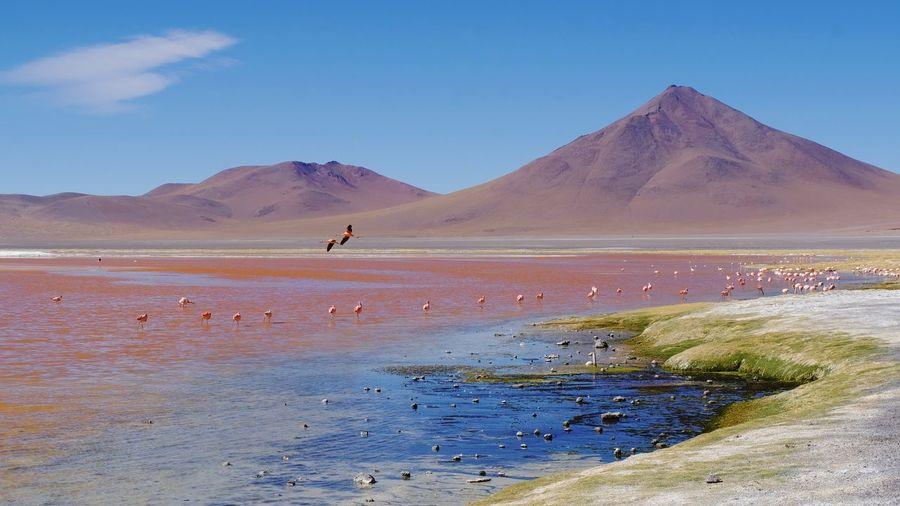 Bolivia - laguna colorada flying flamingo