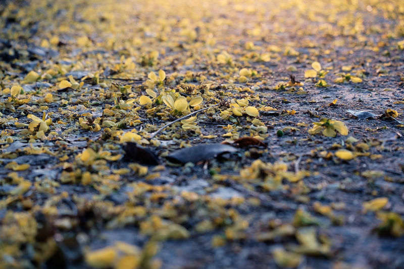 Close-up of yellow autumn leaves on ground