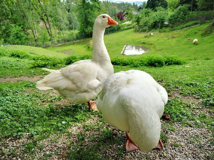 White duck on field