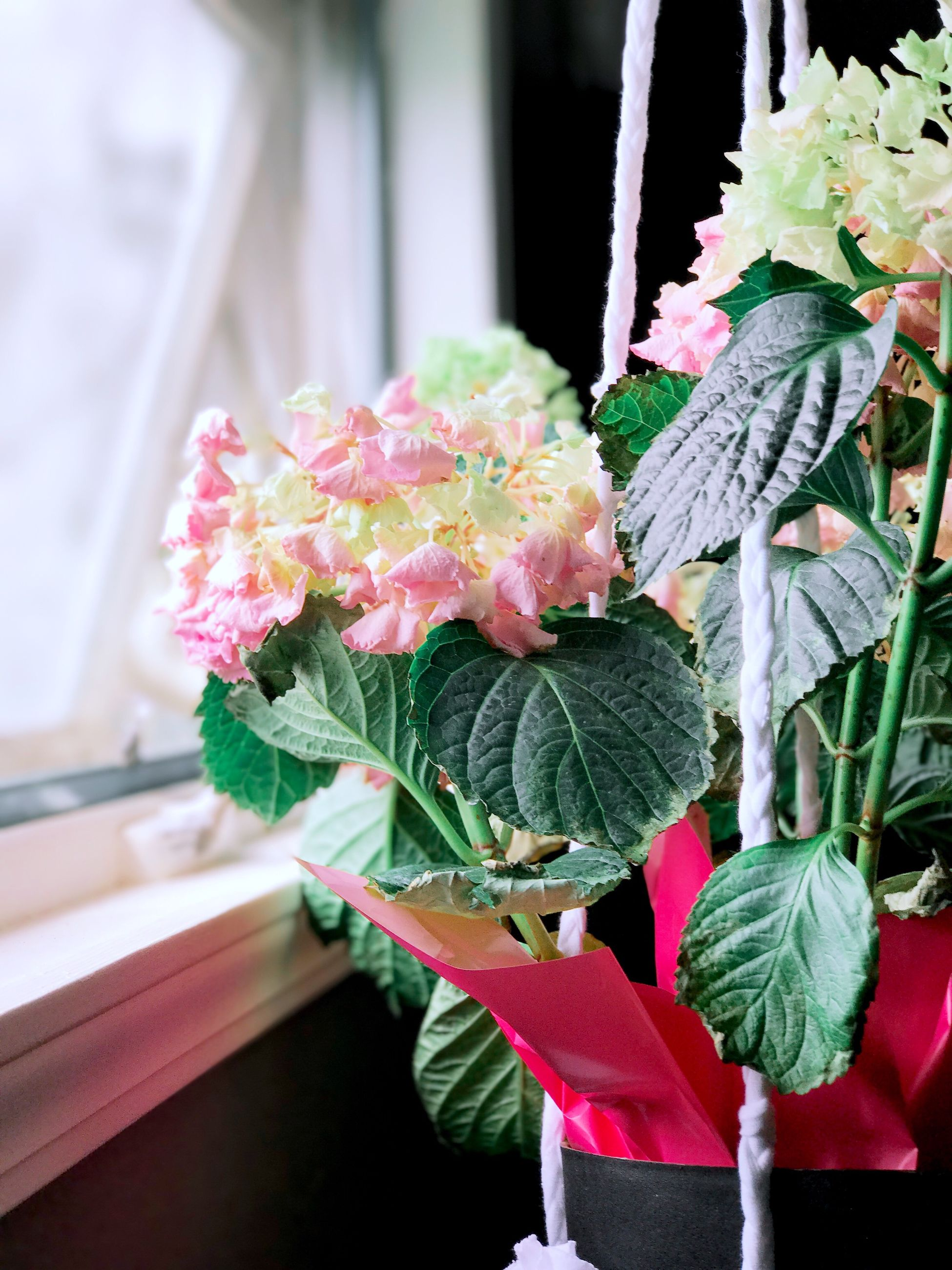 flower, fragility, freshness, pink color, nature, plant, close-up, day, flower head, indoors, no people, beauty in nature