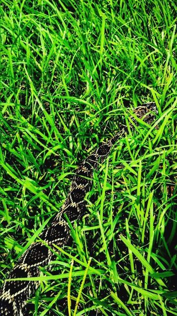 Green Color Backgrounds Full Frame Grass Growth Nature Plant Field Day No People Outdoors Beauty In Nature Freshness Close-up Diamondback Rattlesnake EyeEm Nature Lover Animal Themes Beauty In Nature Snake Animal Markings Textured  Diamond