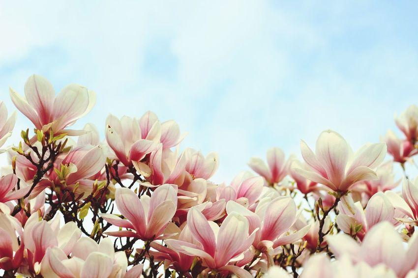 Flowers Spring Magnolia Sky