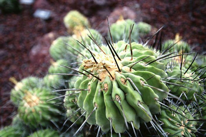 Plant Green Color Cacula Close-up