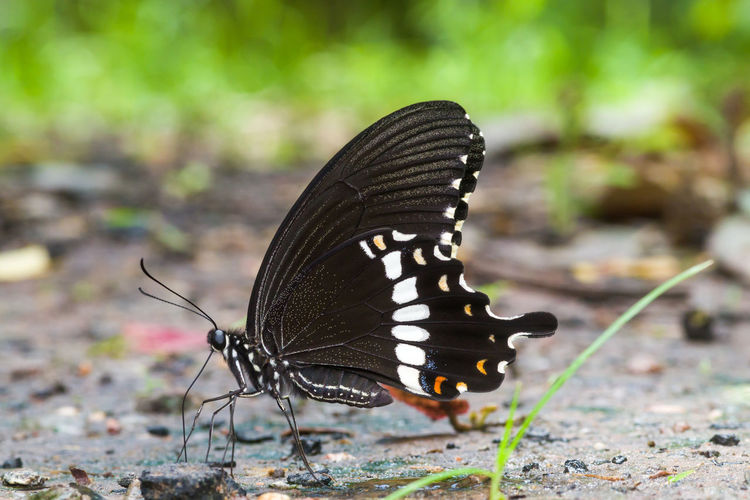 Butterfly Natural Pattern Outdoors Black Color Animal Body Part Beauty In Nature Animal Markings Nature No People Close-up Day Focus On Foreground Butterfly - Insect Animal Animal Wing Animal Themes One Animal Animal Wildlife Animals In The Wild Invertebrate Insect Papilio Polytes Romulus