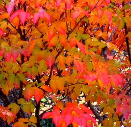 Japanese maple tree close up Change Colorful Leaves In Autumn, Japanese Maple Tree Fragility Freshness Pink Color Red