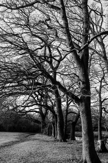 Autumn Bare Tree Blackandwhite Epping Eppingforest Fall Forest Nature No People Season  Tree Tree Trunk Trees
