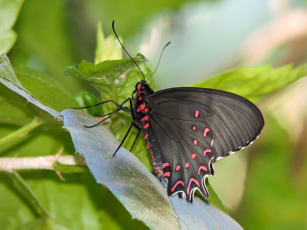 Animal Themes Animals In The Wild Beauty In Nature Black Butterfly Butterfly Butterfly - Insect Close-up Freshness Insect Leaf Magazhu Nature No People One Animal Outdoors Showcase April Yelapa
