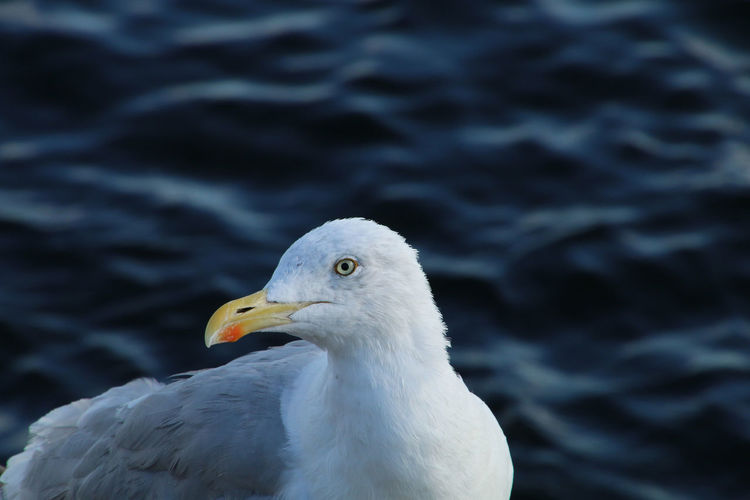 Close-Up Of Seagull Looking Away