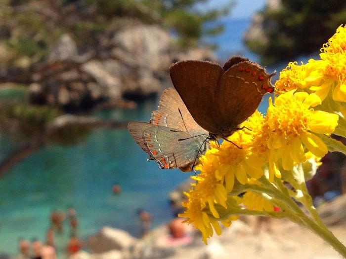 Papillon thècle du kermès
