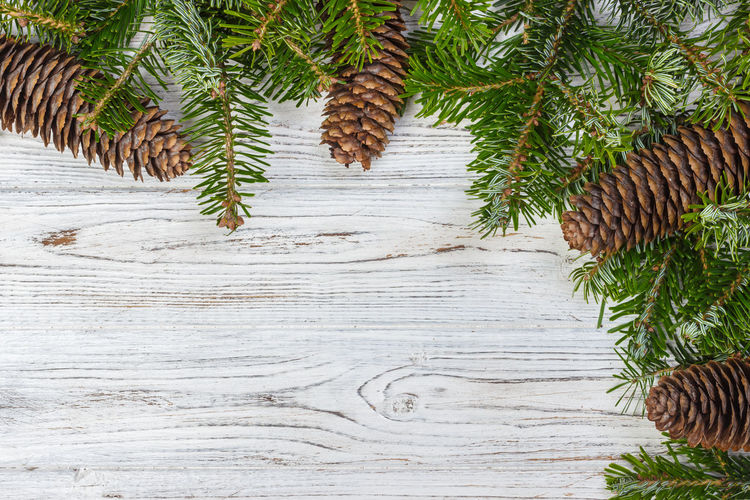 High angle view of pine cones on tree