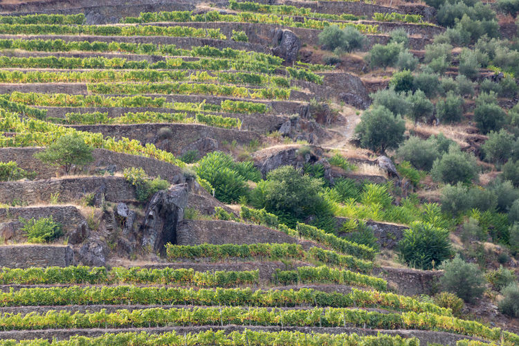 Douro riverbank with vineyards and olive groves Douro  Portugal Agriculture Architecture Day Environment Field Green Color Growth Hill Land Landscape Nature No People Non-urban Scene Outdoors Plant Rolling Landscape Rural Scene Scenics - Nature Tranquil Scene Tranquility Tree Vineyard