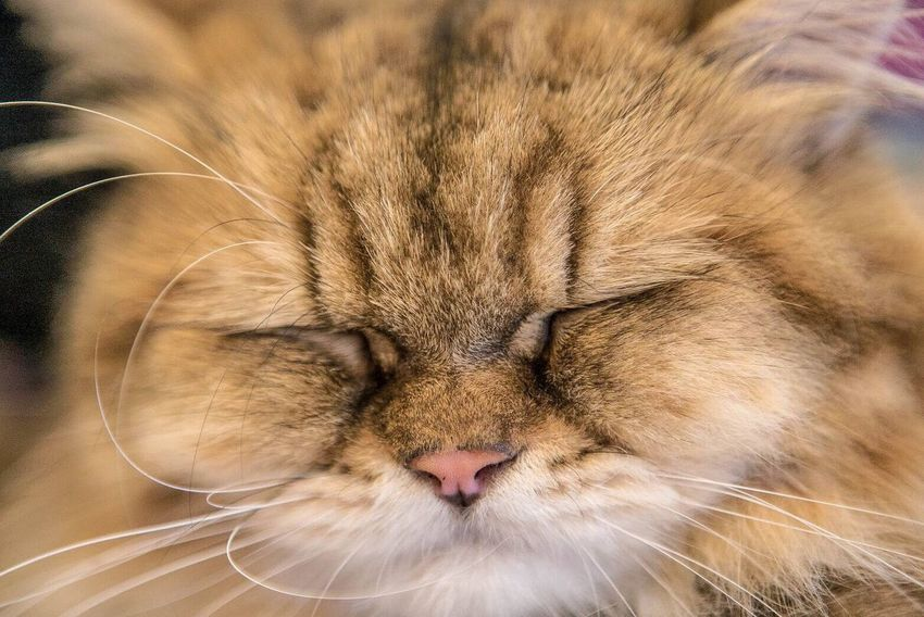 One Animal Pets Cat Close-up Sleeping Animal Head  Cats Portrait Cat Smiling Cute Cat Lovers Handsome