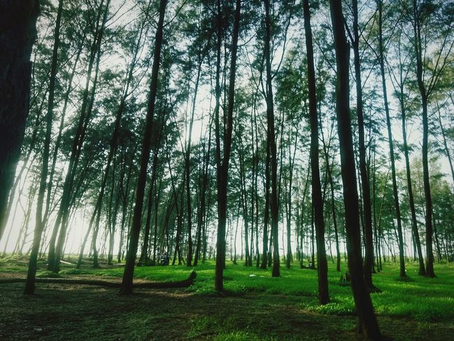 Tree Trunk Forest Tranquility Tree Tranquil Scene Beauty In Nature WoodLand Nature Growth Scenics Green Color Non-urban Scene Day Abundance Tall - High Outdoors Tall Green Grassy Remote