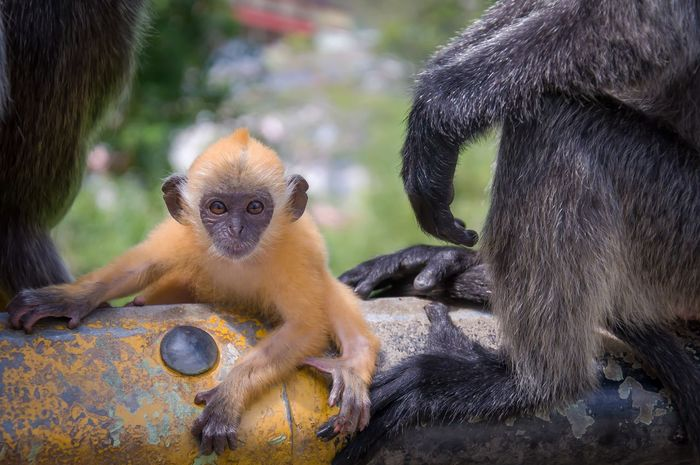 Ape Animal Baby ASIA Monkey Long Tailed Cute Yellow Melawati Hill Selangor Malaysia Wild Wildlife Cute Baby Cutie Expression Eye Monkey Nature Orange Color Life Portrait Paint The Town Yellow
