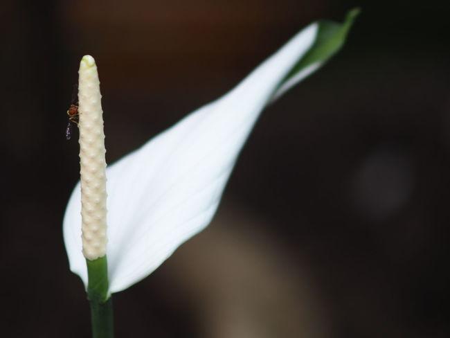 Close-up Spadix White Anthurium