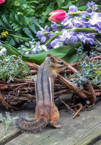 Tiny chipmunk checks out a colorful basket of springtime flowers