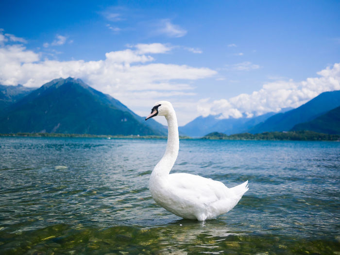 Swan in the Lake Animal Themes Beauty In Nature Bird Como Italia Italy Lake Lake Como Landscape Landscape_Collection Landscapes With WhiteWall Mountain Mountain Range The Great Outdoors - 2016 EyeEm Awards Fine Art Photography Nature Nature Photography Original Experiences Colour Of Life Scenics Swan Tranquil Scene Tranquility Landscapes With Whitewall Winners