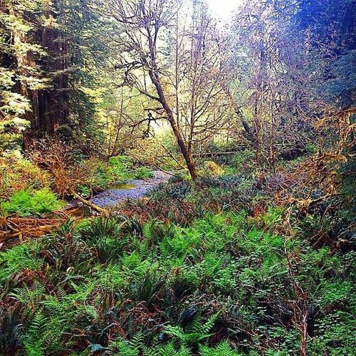 Nature Beauty In Nature Redwood Tree Growth Rainforest Tranquility Tranquil Scene Outdoors No People Forest Green Color Sunlight Ferns