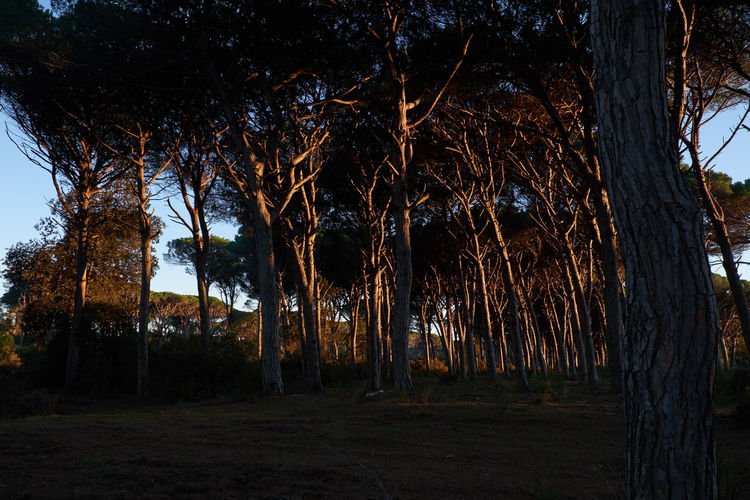 Tree No People Nature Outdoors EyeEm Nature Lover Beauty In Nature Golden Hour Pine Trees Day in San Rossore Pisa Italy