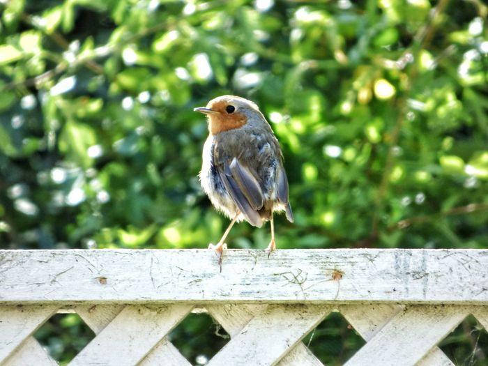 Robin // Robin