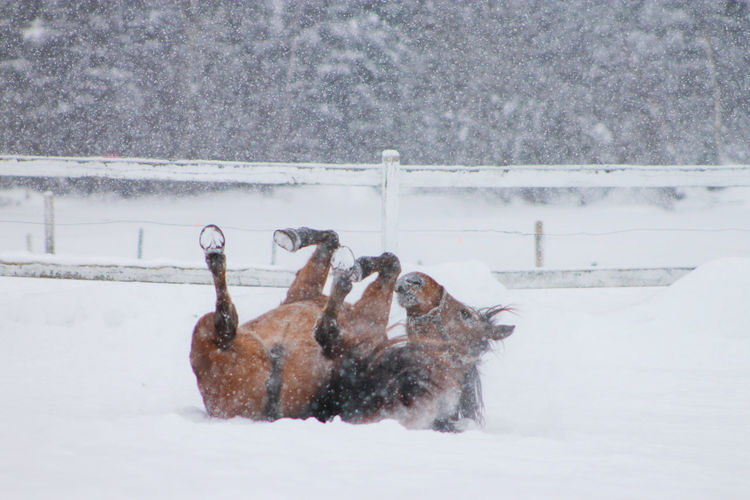 Playful horse lying on snow covered field during snowfall