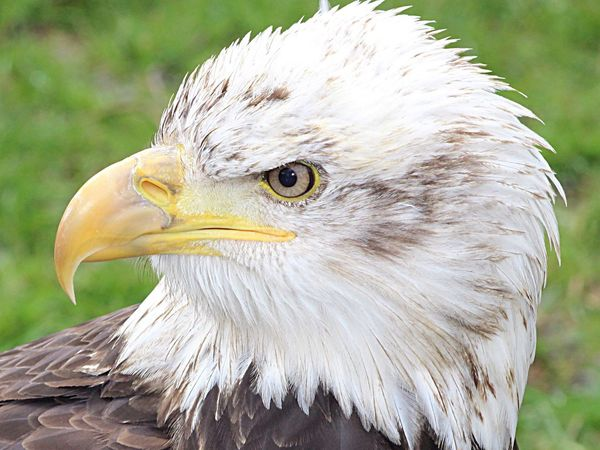 Bald Eagle Beautiful Stunning Birds Of Prey Birds Nature Stonham Barns Suffolk United Kingdom