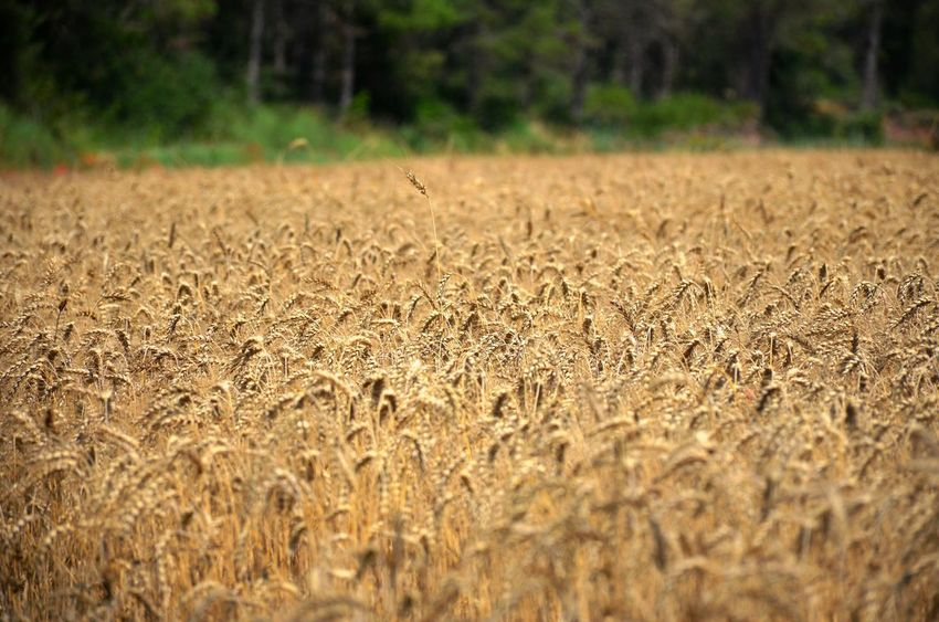 Harvest time in the Catalan countryside Plant Selective Focus Land Field Nature Day No People Growth Cereal Plant Outdoors Agriculture Crop  Landscape Farm Beauty In Nature Tranquility Inspiration Abundance Harvest Harvest Time Serene Serene Outdoors Yellowish Yellow Beautiful Nature