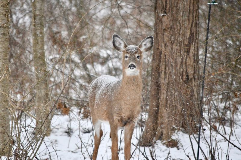 Winter wonderland ☃️❄️ Camouflage Animals Snow Covered Animal Wildlife Animals In The Wild Winter Snow Cold Temperature Nature One Animal Deer Day Mammal Looking At Camera Forest No People Beauty In Nature Animal Themes Tree Shades Of Winter