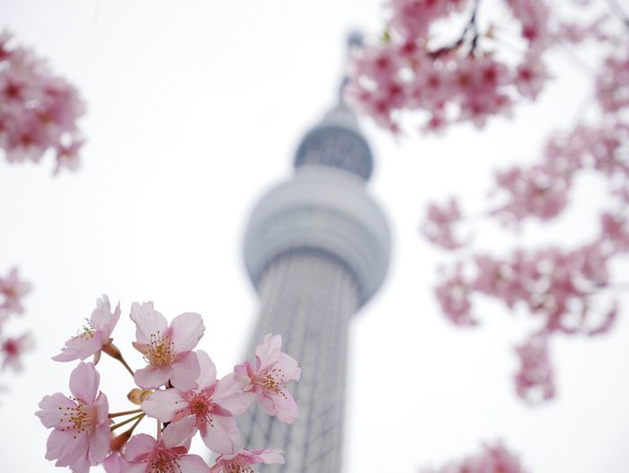 Pink Cherry Blossoms In Spring With Communications Tower In Background