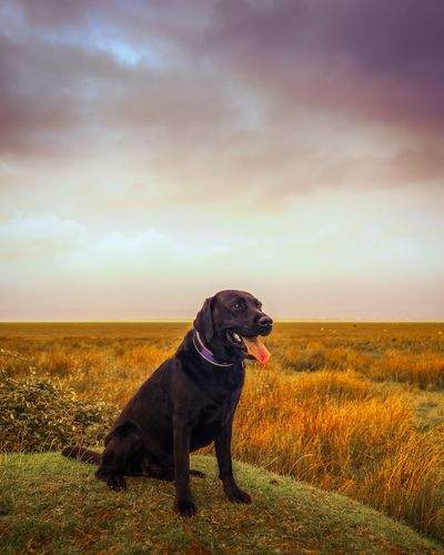 Dog looking away while sitting on hill against cloudy sky during sunset
