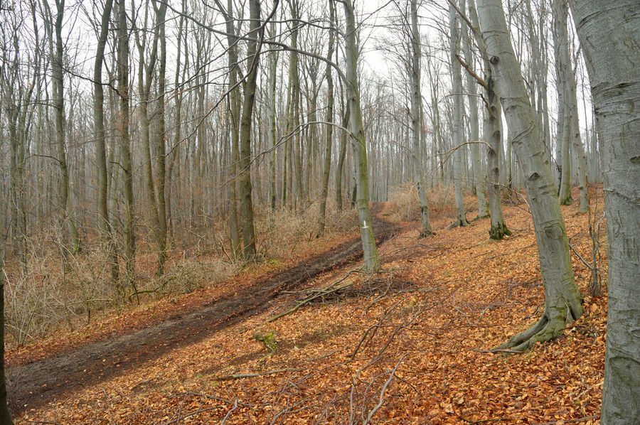 Winter forest without snow Autumn Beauty In Nature Forest Landscape Nature No People Tranquility Tree Tree Trunk WoodLand