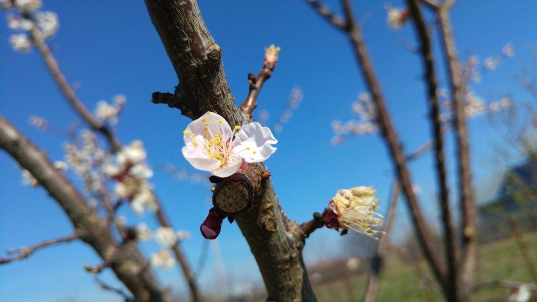 Springtime Spring Flowers Spring Flowers Apricot