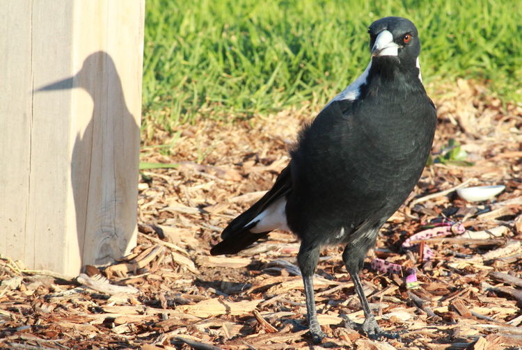 Me And My Shadow Magpie Birds_collection Nature_collection Beady Eye South Australia